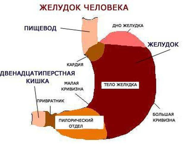 Желудок-главный орган пищеварения. Его роль. Питание и БАД.